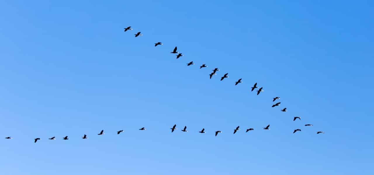 Zugvögel fliegen in Einser-Formation vor wolkenfreiem, blauen Himmel